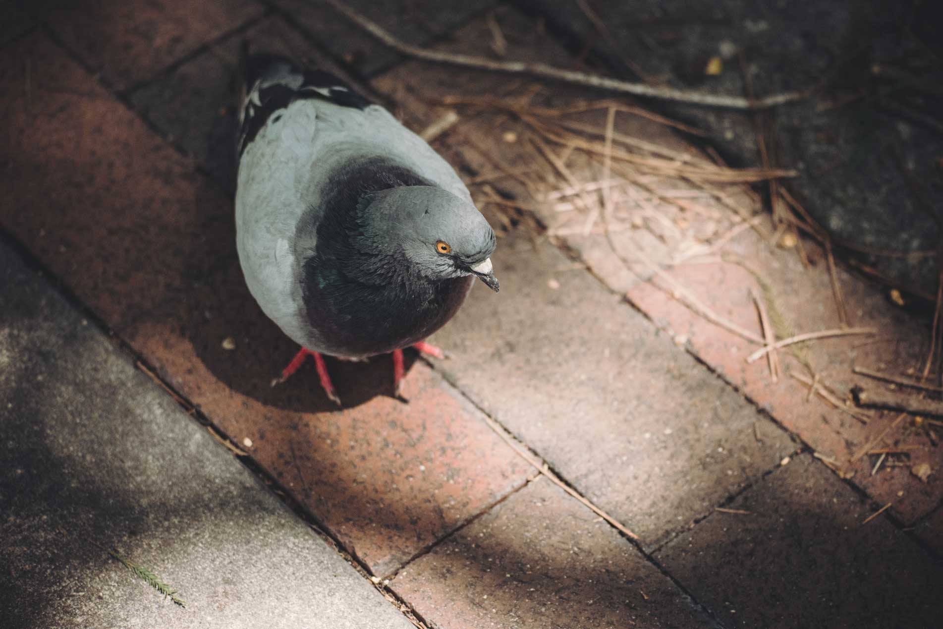 Pigeon Outdoors