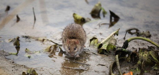 Brown rat in outdoor puddle